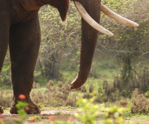 Rivaldo, lucky to survive with his trunk cut after being fed by humans